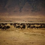 Ngorongoro Crater wildebeests