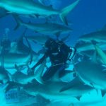Shark Diving Bahamas Bull sharks